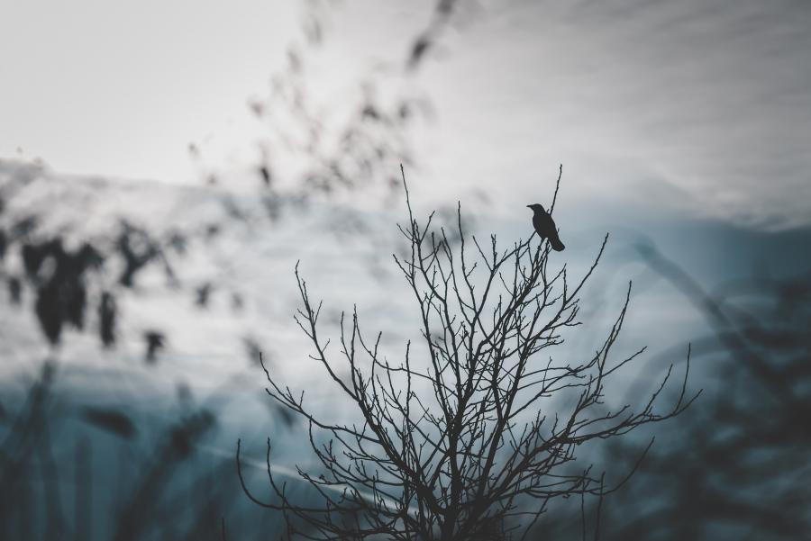 Ravn i træ
