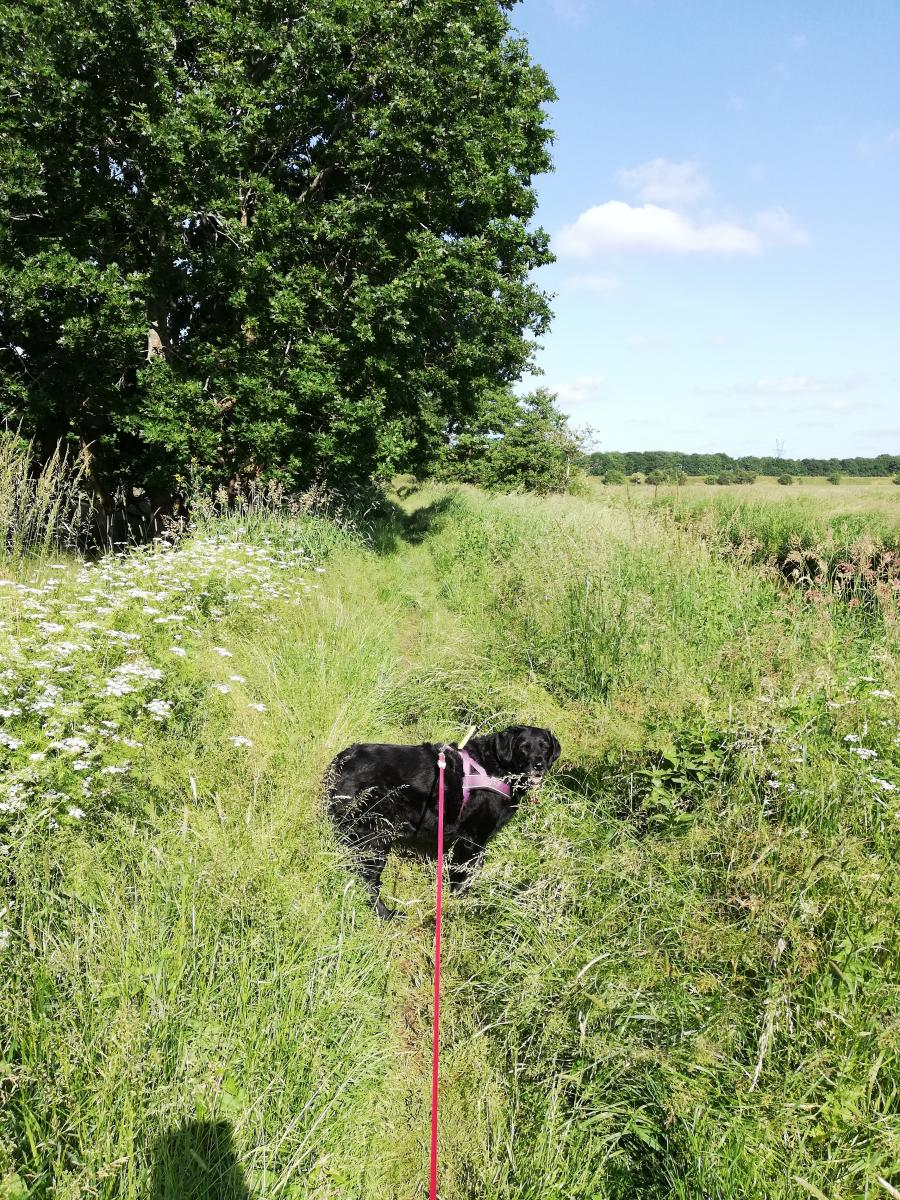 Hund i højt græs